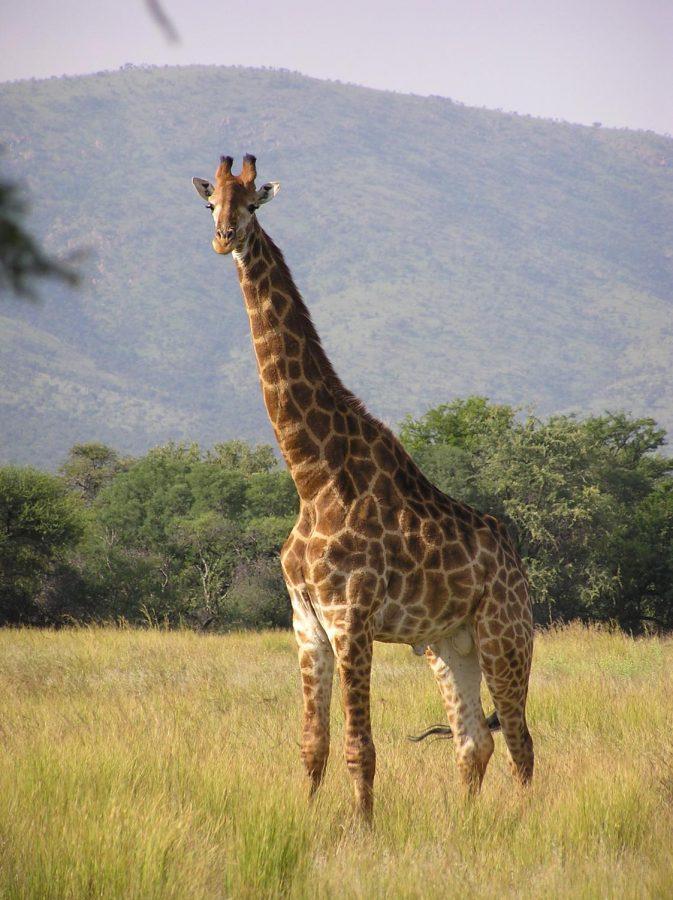 Giraffes! – EMS Sound
