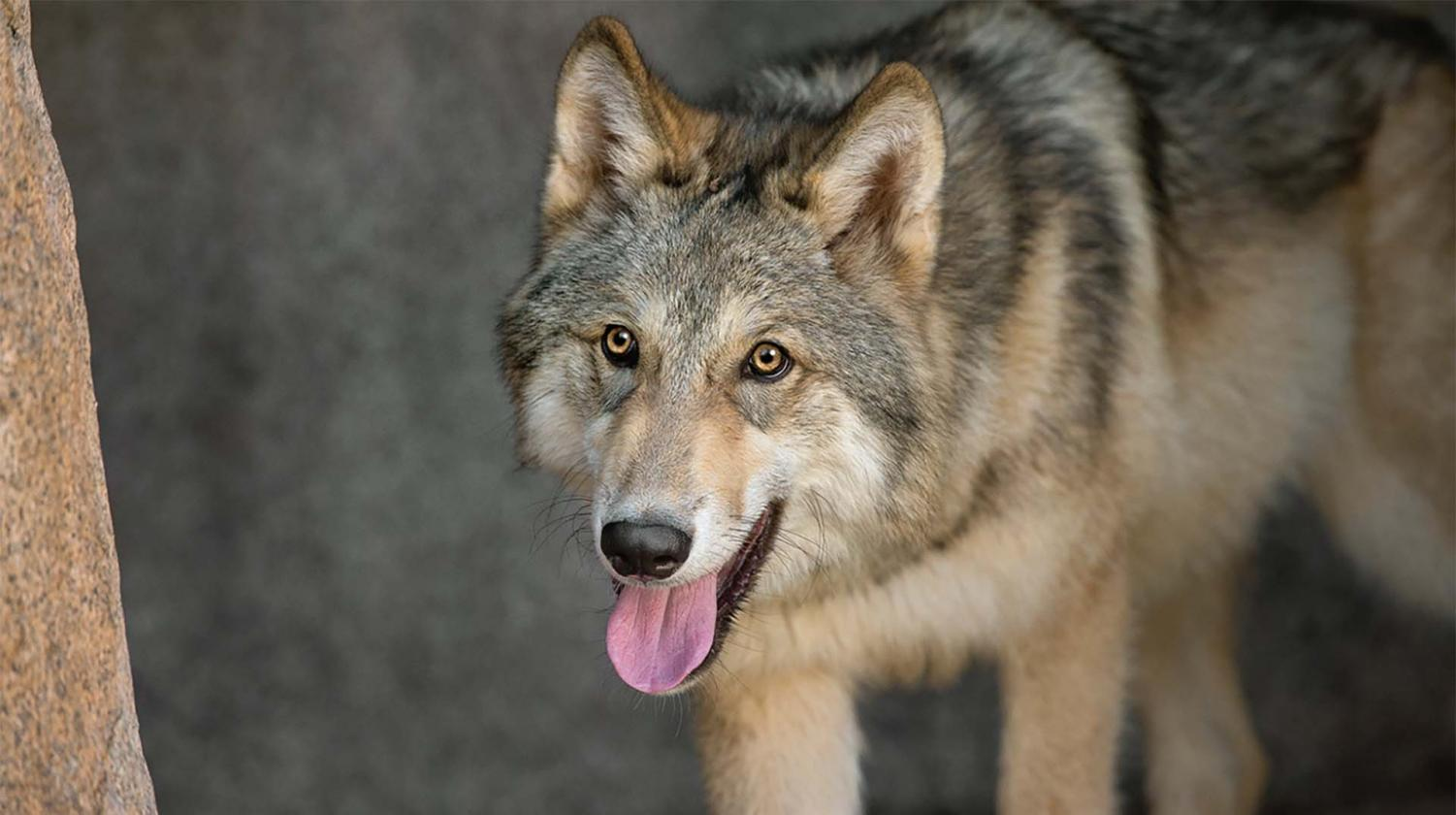 http://animals.sandiegozoo.org/sites/default/files/2016-12/Wolf_ZN.jpg