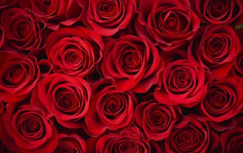 BIG Question: Why Are Roses Related to Romance?