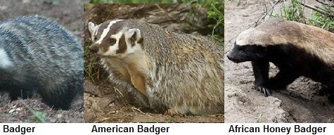 Amazing Animals: Badgers