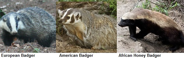 Click on picture to see clearer. European badger (left) North American Badger (middle) and African Honey Badger (far right).