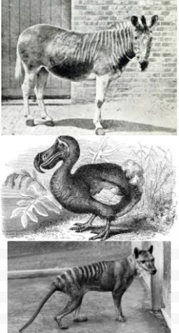 Top: Quagga, Middle: Dodo, Bottom: Tasmanian Tiger. If you want to learn more about these animals, click on this story!