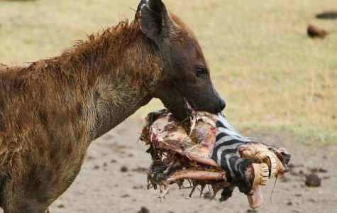 Amazing Animals: Hyenas