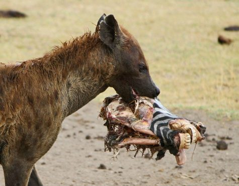 Here is a Spotted Hyena clamped onto a decapitated Zebra head. Source:African Wildlife Detective