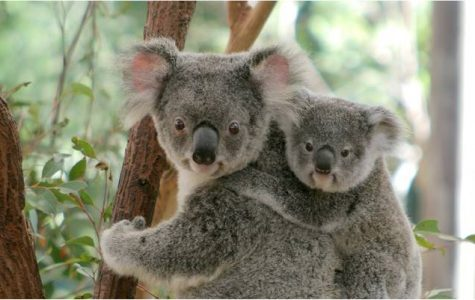 Amazing Animals: Koalas