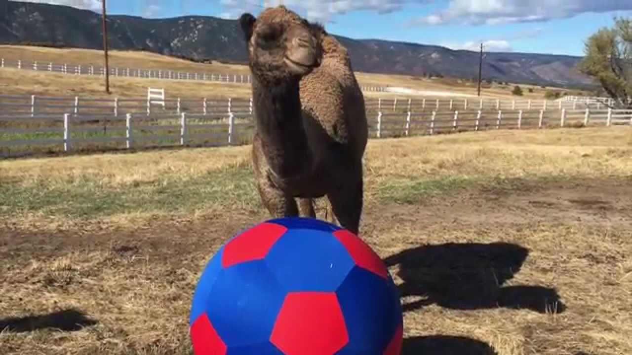 Camel soccer! Source: YouTube
