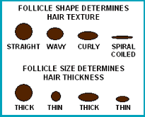 BIG Question: Why Do Different People Have Different Hair Textures?
