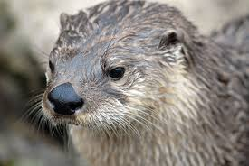 This is a River Otter. Note the small ears and nose pads.