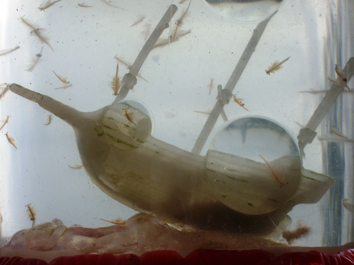 These are adorable little Sea Monkeys swimming around with a pirate ship.