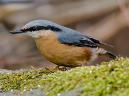 A nuthatch. A bird that is seen in Kansas.