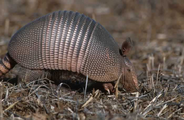 The+nine-banded+armadillo