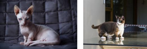 The first cat is a hairless cat and the second is a munchkin cat