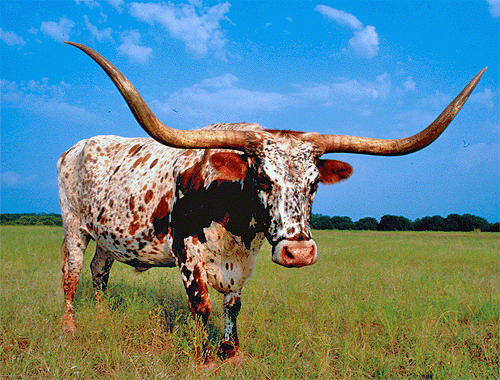 This is a longhorn