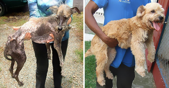 This is an before and after of an abused dog.