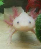 This is an Axolotl