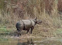 The Javan Rhino, One of the very few left.