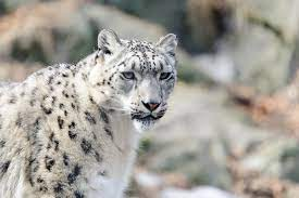 This is a Snow Leopard and there are only 4,080-6,590 left in the wild