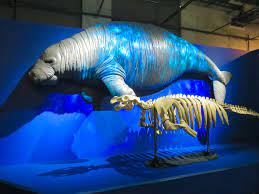 The skeleton and a model of what a Steller's Sea Cow would have looked like.